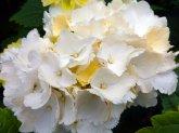 Blume weiss