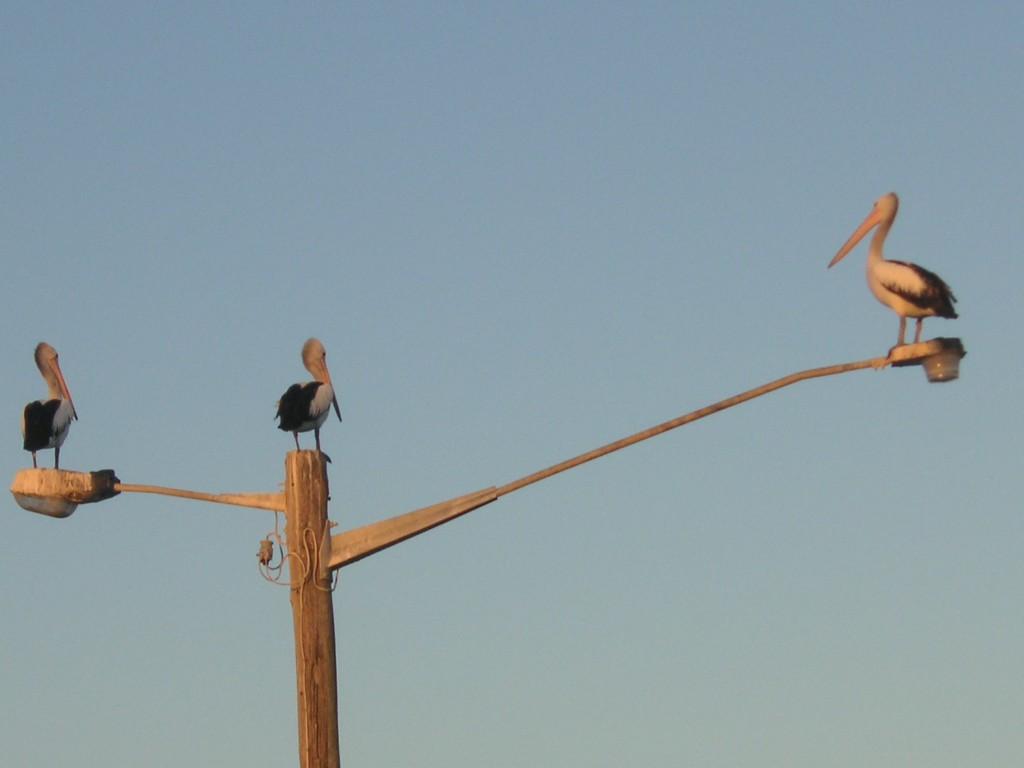 Pelikane, Süd-Australien
