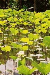 Botanischer Garten, Pamplemousse, Mauritius