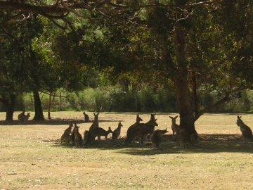 Kangaroos auf Tasmanien
