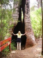 Karri Trees, Australien