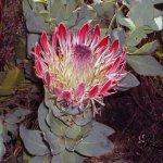 Flora in Südafrika