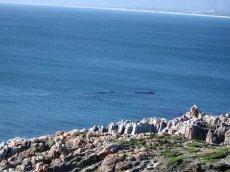 Wale in Südafrika