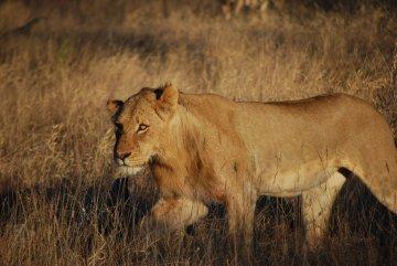 Löwin Südafrika