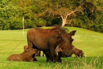 Golfplatz Limpopo mit Warzenschwein