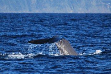 Walewatching Azoren, Portugal