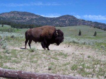 USA - Montana - Bison Büffel