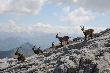 Schweiz - Alpensteinboecke