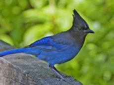 Kanada - Bitish Columbia - Stellers Jay